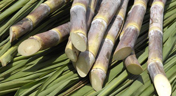 Pindorama contabiliza 410 mil toneladas de canas processadas