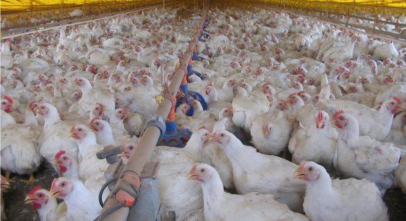 Custos de produção de suínos e de frangos de corte voltam a subir em novembro