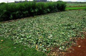 Planta nativa do Cerrado pode ajudar na recomposição do bioma