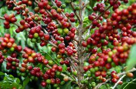 Produtividade foi o principal fator de aumento da renda do produtor de café