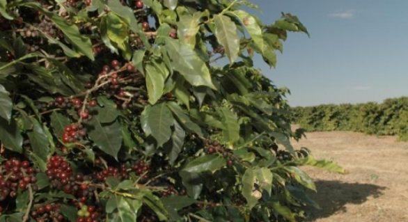 Lavouras dos Cafés do Brasil faturam R$ 21 bilhões em 2017