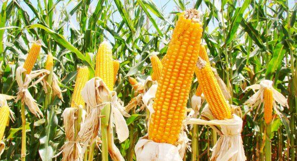 Com produção recorde do milho, valores caem no Brasil