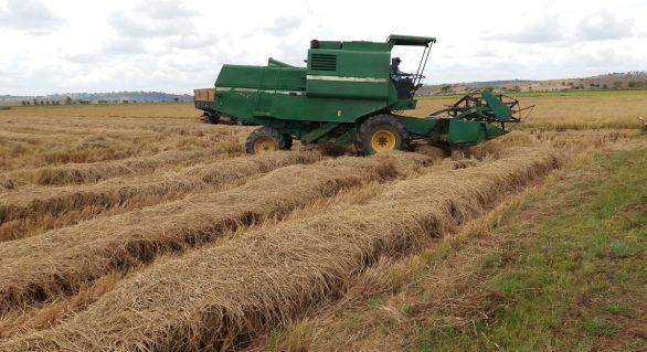 Agricultura: Safra de arroz 2017/2018 será recorde em Alagoas