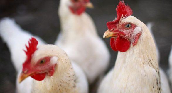 Exportações de carne de frango totalizam 330 mil toneladas em janeiro