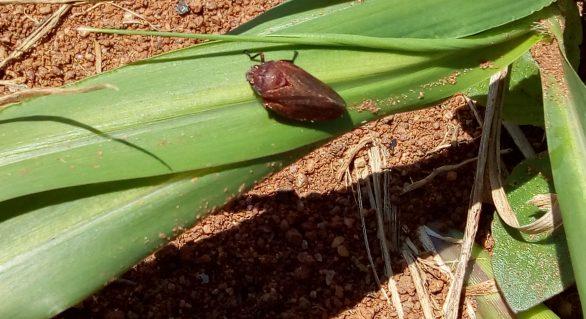 Manejo integrado é aliado do produtor no combate às pragas em pastagens