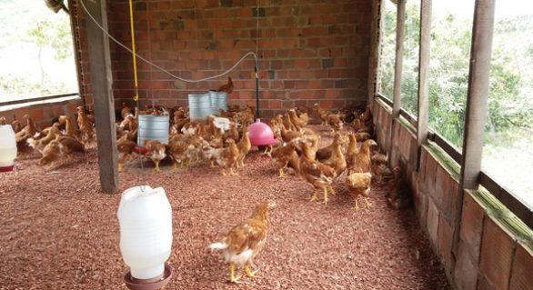 Governo de AL incentiva criação de aves caipiras na agricultura familiar