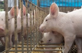 Brasil exporta carne suína para 70 países