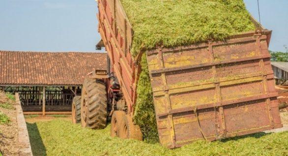Focado em silagem, trigo se mostra produtivo e competitivo