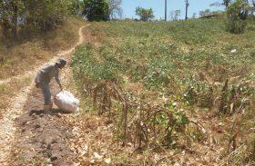 Governo de Alagoas fará distribuição de 1.250 toneladas de sementes