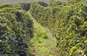 Clima indica uma safra de café com qualidade no Brasil