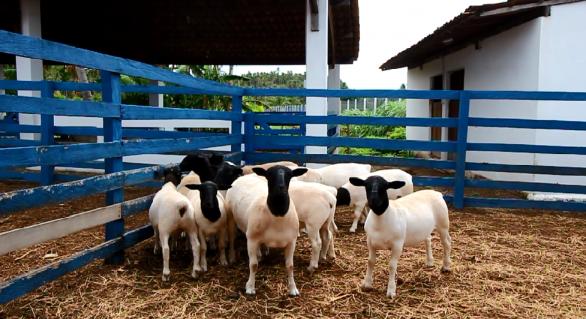 Julgamento Dorper recebe criadores de São Paulo a Rio Grande do Norte