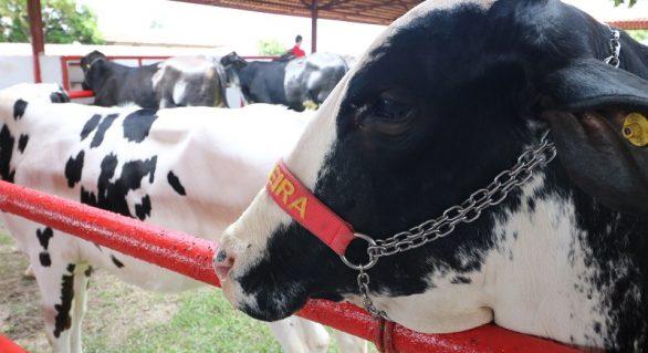 Genética de Berço é oportunidade de investimento na pecuária de leite