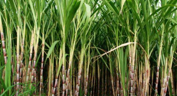 Chuvas incentivam o plantio de cana em AL