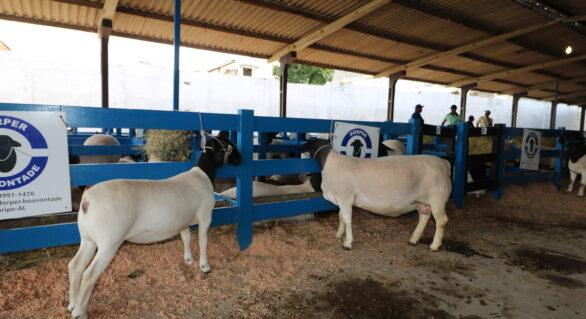 Exposição Nordestina Dorper e White Dorper 2018 incentiva criação de ovinos em AL