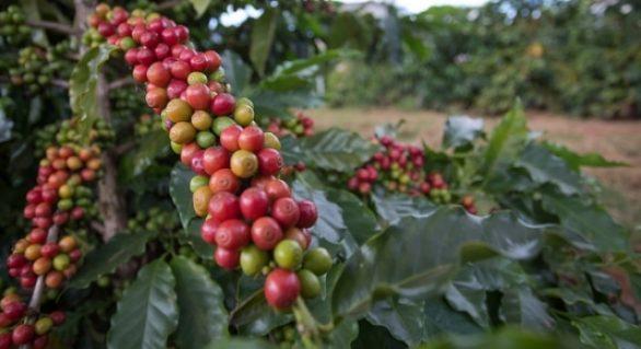 Brasil exportou 2.157 milhões de sacas de café no mês de junho