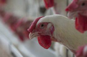Greve de caminhoneiros reduz em 8,3% abate de frangos no 2º trimestre