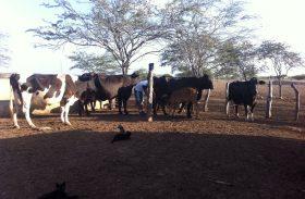 Produtores enfrentam dificuldades na produção de leite por conta da seca
