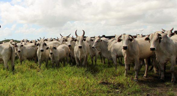 14º Leilão Nelore Positivo ofertará mais de 600 animais