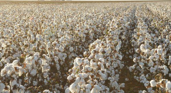 Brasil deve produzir e exportar mais algodão em 2019