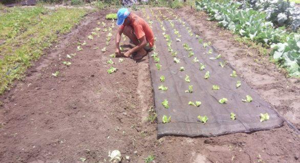 Projeto de inovação tecnológica melhora qualidade no cultivo de hortaliças em Arapiraca