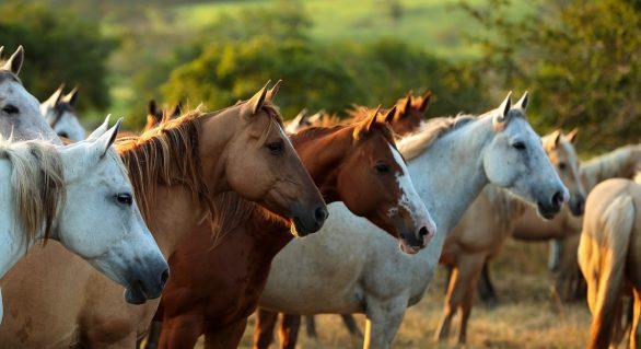 Alagoas  Quarter Horse inova com trio de vendas de coberturas