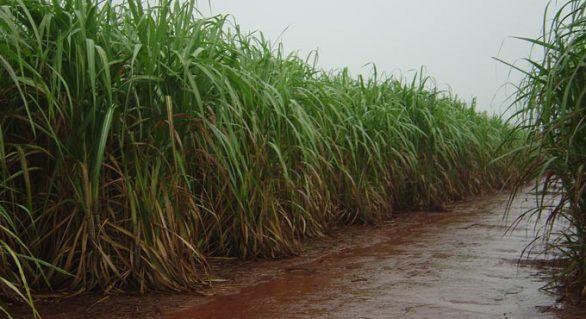 Redução de chuvas acende sinal de alerta para fornecedores de cana