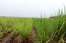 Projeto de irrigação por gotejamento de Pindorama deve dobrar produção do canavial