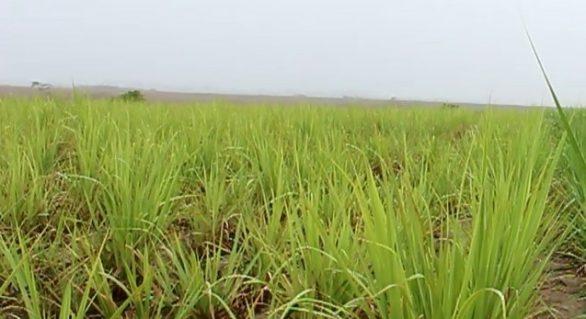 Chuva de janeiro renova ânimo do fornecedor de cana