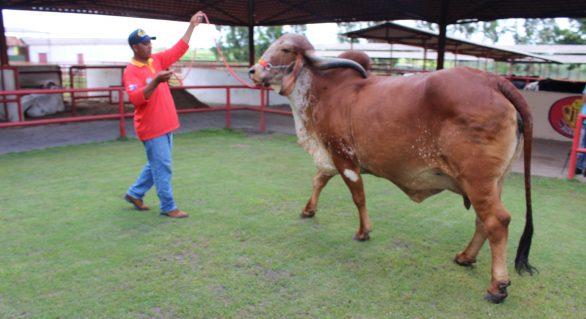 Genética de Berço terá animais de cabeceira da Agropecuária Pereira