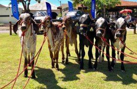 Animais do Leilão Genética de Berço já se encontram no Parque da Pecuária