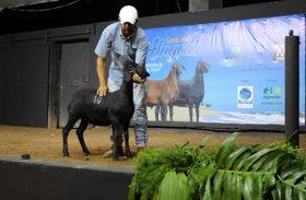 Leilão Alagoas Santa Inês retorna ao mercado com faturamento de R$ 268 mil