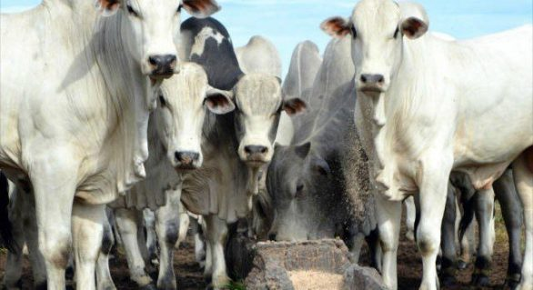 Mercado do boi gordo com alterações pontuais nos preços
