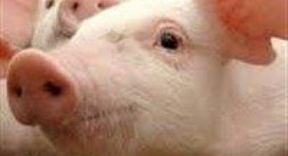 Alta nos preços e exportação firme para o suíno