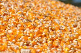 Milho começa Julho com bom ritmo de exportação