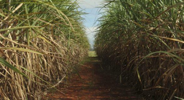 Proibição de queimadas afeta usinas de Alagoas