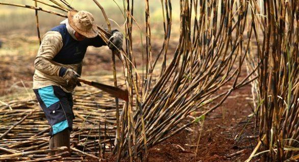 Bolsonaro libera queimadas de cana-de-açúcar em AL
