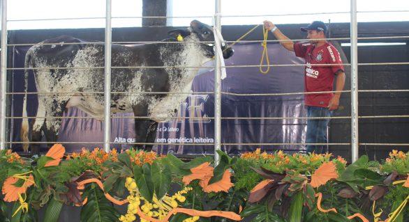 Mais Leite acontece domingo (3) e promete grande encontro da pecuária leiteira
