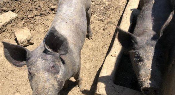 Adeal libera trânsito de suínos vindos de estados livres da PSC