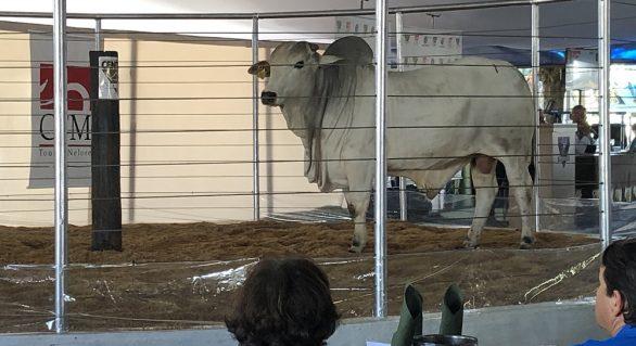 CFM comercializou 1.387 touros Nelore CEIP em 2019