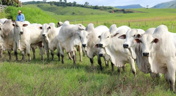 Nelore SMP enfatiza qualidade técnica e genética de touros melhoradores