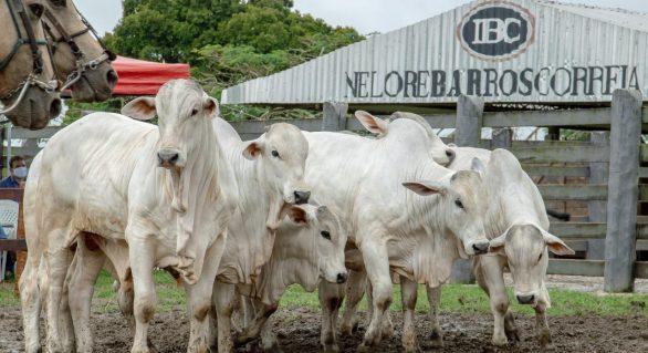 IBC tem variedade para a pecuária