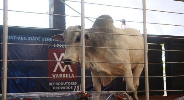 Leilão Varrela oferta reprodutores nelore