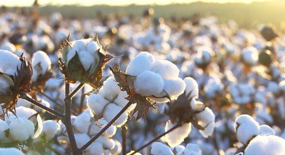 Brasil está reduzindo área de plantio de algodão