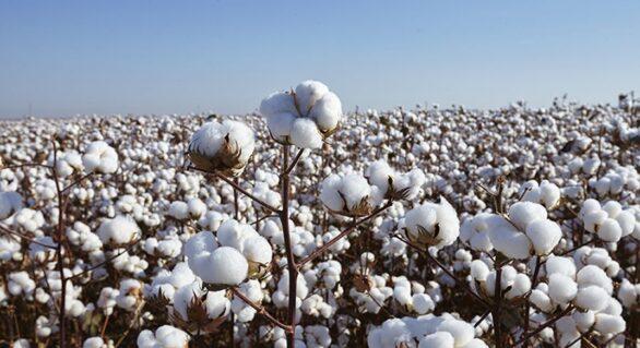 Até 2030 Brasil será o maior exportador de algodão do mundo