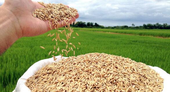 Casca de arroz vira energia em indústria
