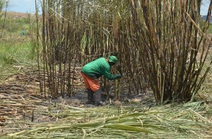 Acordo salarial beneficia 100 mil trabalhadores em canavieiros em Alagoas
