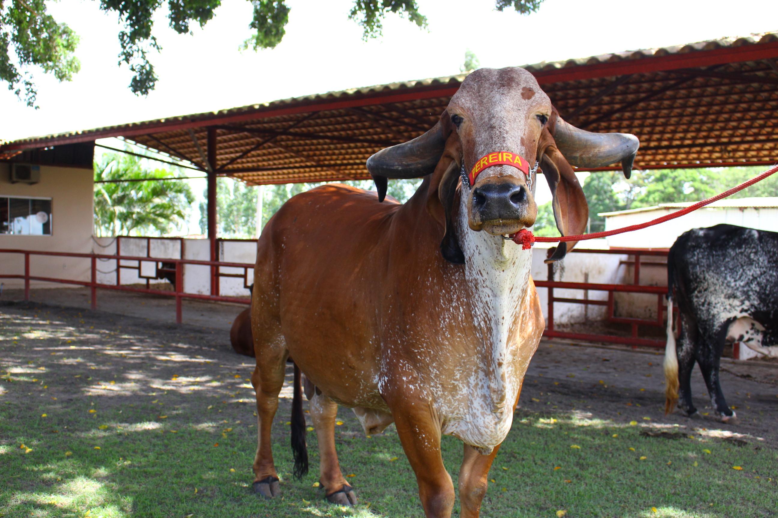 Animais do 4º Genética de Berço estão prontos para atender pecuária leiteira'