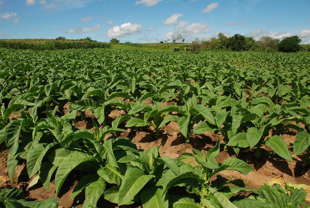 Cultura do fumo resiste no Agreste Alagoano