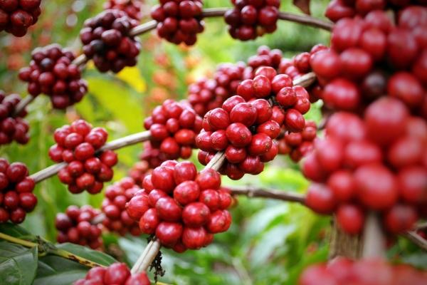 Estado vai distribuir 10 mil mudas de café para agricultores familiares