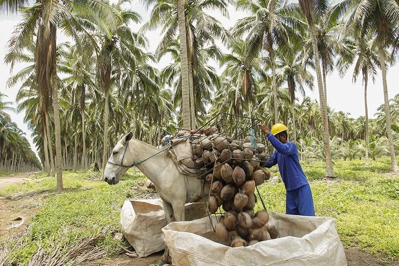 Projeto da Embrapa auxilia no melhoramento da produção de coco em AL